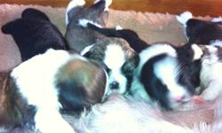 Hi there i have 3 males and 2 females. Both females are brown and white with some black and i have 2 males that are black and white and one brown and white male. They are already going off there bed to do there business on pee pads and they are starting