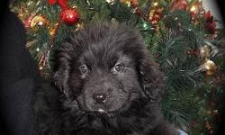 Beautiful black Newfoundland pups from registered parents.  Ready for Christmas.  Will come with shots and deworming.   Call Maggie at 306-287-3181