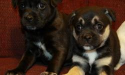 Very sweet mixed puppies now available! Mom is a miniature blue heeler (Australian cattle dog) and dad is a puggle. Born November 25, they are now 9 weeks old and ready to go. These puppies are absolutely adorable, with very lovable and cuddly