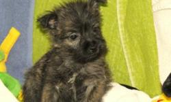 These puppies are very smart, loyal, attentive and love to be outdoor. Great for active families, they love to play, and then cuddle in for their nap. Their dad is a cairn and mom is a cairn /westie cross. We have two females they both have beautiful