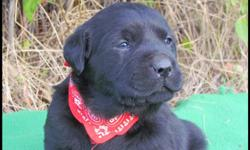 LOVABLE LABS  HAS CKC REGISTERED PUREBRED LAB PUPPIES FOR SALE...1 CHOCOLATE MALE, 1 BLACK MALE, 1 BLACK FEMALE  ...$750...PICTURES ARE OF  THE 3 AVAILABLE PUPPIES....ENGLISH & BLOCKY WITH WONDERFUL TEMPERAMENTS! WILL BE READY TO GO NOVEMBER 11TH