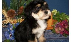 There are males and females available - the little girls are the first three pics!  Mom is a super friendly Cockapoo and dad is Yorkshire terrier.  The puppies are non shedding, very playful and full of fun. They also love to snuggle up with you and be