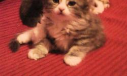 I have 4 Adorable Fluffy Kittens that are ready to be rehomed to good forever homes.  There is one petite sweet tabby striped baby girl and two soft grey & white little boy kittens, one all black fluffy boy kitten.  The Kittens all have the sweetest