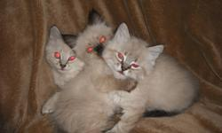 ·         Age 10 weeks ·         They are fully housebroken and use the litter box consistently. ·         They have been raised in a family environment and are well socialized to people and other cats. They have never been kept in a cage. ·