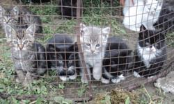 Their mothers are fantastic mousers and these kittens will make great pets or barn cats.  They are weaned and ready to go.  Located near Ponoka. There are two left... one black with white female one black male
