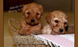 We are proud to introduce a new litter of adorable LABRADOODLES.  We have six handsome fellows and two sweet girls.    They will come to you vet checked, with their first shots, and dewormed.  We also give a one year genetic (eyes, heart, hip) health