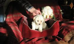 ....These adorable little Havanese babies are lovingly raised in our home.  The price has been lowered and they are ready to go to their special homes just in time for the New Year!!!! ....I have eighteen years experience breeding dogs.  Health and