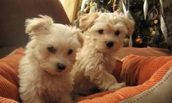 PRICE REDUCED!!!!!!!!!!   ....These adorable little Havanese babies are lovingly raised in our home.  The price has been lowered and they are ready to go to their special homes. ....I have eighteen years experience breeding dogs. .....Health and