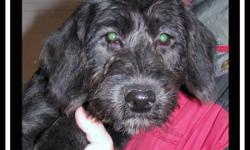 ADORABLE Medium Labradoodle Puppies, 3 Males  ~ we have 3 adorable male F1 medium labradoodle puppies  ~ born August 18th they are ready to be adopted into your home  ~ they have had all their vaccinations, no more needed till they are 1  ~ they are