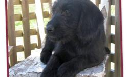 ADORABLE Medium Labradoodle Puppies, 5 males  ~ we have a 5 male F1 medium labradoodle puppies  ~ born August 18th they are ready to be adopted into your home  ~ they have had their 3rd shots, are vet-checked, dewormed, & micro-chipped  ~ your puppy will