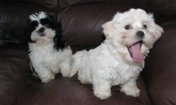 Non-shedding and hypo-allergenic shih-maltipoos. 2 females. Lovingly raised in our home. Parents on site. Mother is shihtzu and father is toy poodle-maltese cross. Have first shots, vet check and deworming. Well socialized with adults, dogs, cats and
