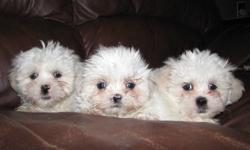 Hypo-allergenic and non-shedding Shih-maltipoos. Lovingly raised in our home. Mother and father on site. Mother is maltese and toy poodle. Father is shihtzu. In the first photo, from left to right, is female, female and male. All are white with sandy