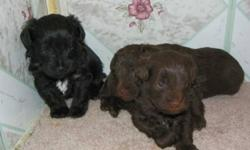 Reputable breeder has a litter of Schnoodle puppies that was born on Dec 7th. They are non-shedding and hypoallergenic and come from registered parents.  Mom is a black toy size Schnauzer and dad is a chocolate toy Poodle.  These puppies should be around