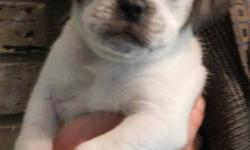 ADORABLE Puggle Puppies.  We have five second generation puggle puppies.  We have two rare white puggles with dark patches, and three dark puggles, with lovely wrinkly faces. Puppy shots and deworming have been done. The puppies will be  ready to go on