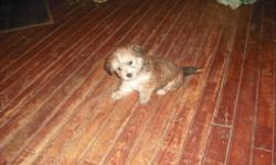 We have two male puppies left,will stay small.Very cute. :) We own both parents,mom is terrier/chihuahua,4lbs,,,dad is a silky terrier 8 lbs,,both parents are very friendly.They will be ready to go in a week,,serious inquires only.will be dewormed.