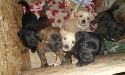 adorable mastiff boxer lab puppies  1 brindle female 2 beige female 1 beige male 3 black males great temperment, great sniffers. they are on solid foods and for the most pare are paper trained.  mother is very gentle and a quick runner   the puppies are