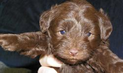 Reputable breeder has a litter of Schnoodle puppies that was born on Dec 7th and ready to go Feb 1st. They are non-shedding and hypoallergenic and come from registered parents. Mom is a black toy size Schnauzer and dad is a chocolate toy Poodle. These