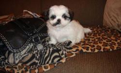 Perfect Christmas Gift!!       Cute, cuddly and playful puppies for sale.                 Just perfect for Christmas!               We have 4 cute little girls left.    They are non-shedding and hypoallergenic     All have had their first shot, vet check