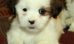 Adorable little Shih Tzu puppies! Only 1 male left! Shih Tzu?s are small lap dogs that are highly social and love to be around their families. They are great with kids and make excellent family pets. These pups will mature around 12lbs fully grown. At 11