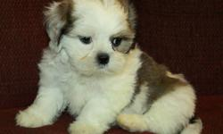 We have 2 female Shih Tzu puppies available to new homes now at 8 weeks old (born August 8). Shih Tzu?s are very friendly lap dogs who don?t require too much exercise and are good in apartments or homes. They are sweet and trusting dogs and make great