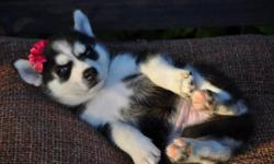 3 month old husky puppy needs a new home. Moving out of town and simply cannot care for a puppy anymore. I am 20 years old, and she has been in training and is very loving and friendly! Perfect for a family pet. Has had her first set of shots, will come