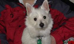 Adorable male west highland / pom / american eskimo cross needs good loving home.  He is 11 months old has all shots,  is chiped and house / kennel trained and was top student in his puppy training class.  Loves the outdoors and going for long walks.