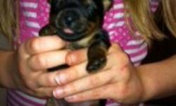 Yorkie babies!!!!! Adorable Yorkshire Terriers sired from my 4lb Yorkie male and 6 lb Yorkie mom. 3 baby girls ( one tiny teacup) These little ones should mature between 3-6 lbs. Puppies have had there tails docked and back dew claws removed. Puppies are