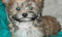 Blond coloring with black accents on face will keep trying to load pictures if you would like to see a picture just email me Born Aug 27 Yorkie Pom Cross 1st shots and de-wormed 1 male and 1 female left Great personality Looking for a forever home. Loves