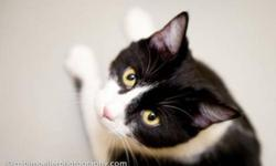 Breed: Tuxedo   Age: Adult   Sex: F   Size: M Daisy is a two year old lady who has arrived at the shelter heavily pregnant and gave birth to 4 little kittens who look just like her. She is the friendliest cat and will sit on your lap for hours. Her