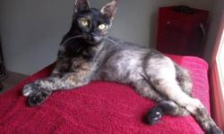 Breed: Tortoiseshell   Age: Adult   Sex: F   Size: M Daphne arrived in our care suffering from psychological alopecia which is a condition which causes felines to overgroom to the point of baldness. Her circumstances were obviously causing this young