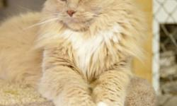 Breed: Domestic Long Hair - buff and white   Age: Adult   Sex: F   Size: M   View this pet on Petfinder.com Contact: Fort Smith Animal Society | Fort Smith, NT