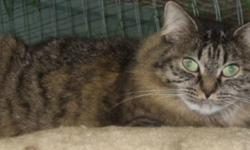 Breed: Domestic Long Hair - brown   Age: Adult   Sex: F   Size: S I was brought into the Fraser Valley Humane Society after being caught in a trap on a farm with my kittens. I am very shy and take quite a while to get to know new people. I don't mind