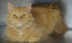 Breed: Domestic Long Hair - orange   Age: Adult   Sex: F   Size: M Paris and her kittens were found on the side of the road duct taped inside a fan box. Luckily for Paris and family someone stopped to check out why the box was on the sidewalk. The kittens