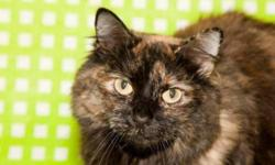 Breed: Domestic Long Hair   Age: Adult   Sex: F   Size: S   View this pet on Petfinder.com Contact: Upper Credit Humane Society | Erin, ON