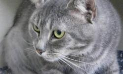 Breed: Domestic Medium Hair-gray   Age: Adult   Sex: F   Size: M Diva is a Diva .... no more comments .... just stop at SHAID and you will meet with Diva! Shelter Hours: Open to the Public Tuesday to Friday, 12:00 NOON to 3 PM and Saturdays 11AM to 4 PM