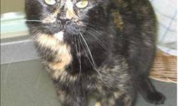 Breed: Domestic Medium Hair   Age: Adult   Sex: F   Size: M Miss Sassy is a pretty calico with a spunky, independent and sassy personality. A bit of a temperamental gal when she first arrived, keeping a safe distance from both people and other cats, Miss