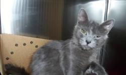 Breed: Domestic Medium Hair   Age: Adult   Sex: F   Size: M Primary Color: Grey Age: 1yrs 11mths 2wks Animal has been Spayed   View this pet on Petfinder.com Contact: Surrey Branch BC SPCA | Surrey, BC