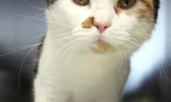 Breed: Domestic Medium Hair   Age: Adult   Sex: F   Size: M This shelter sweetie is named Smushie! With her beautiful amber eyes and lovely calico markings she is quite a striking cat indeed. She even has a very distinct brown patch beside her nose which