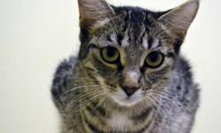 Breed: Domestic Short Hair - brown Tabby   Age: Adult   Sex: F   Size: M Rocket came into rescue with a litter of kittens, all her babies have found homes and she has been waiting all summer for hers. Rocket is good with other cats and could probably