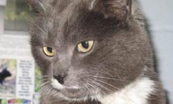 Breed: Domestic Short Hair - gray and white   Age: Adult   Sex: F   Size: M I was brought into the Fraser Valley Humane Society as a stray 2 years ago. The staff here thought that I had been outside trying to take care of myself for quite a while and