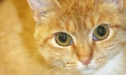 Breed: Domestic Short Hair   Age: Adult   Sex: F   Size: S Marmalade is a very sweet, but shy girl. She came into us from Animal Control with 4 kittens. Being the shy girl that she is, she would made a better house cat all by herself. Come visit this