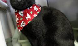 Breed: Domestic Short Hair   Age: Adult   Sex: F   Size: M Nicole looks just like a cat but is really an affection machine! This striking beauty was found as a stray in Dartmouth. She is now part of the shelter family and waiting for her new forever