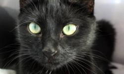 Breed: Domestic Short Hair-black   Age: Adult   Sex: F   Size: M This gorgeous Mom is Sterling! Now that her 5 babies no longer need her to care for them, she is searching for a home that will care for her. With her beautiful jade eyes and shiny black