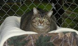 Breed: Tabby - Brown Domestic Short Hair   Age: Adult   Sex: F   Size: M Adele was a little shy at first but has since come out of her shell. Adele can usually be found in a cat tree waiting for someone to come and shower her with attention. She is a