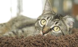 Breed: Tabby - Brown   Age: Adult   Sex: F   Size: S Indie is a loely girl who get on well with other cats. She has not been tested with dogs yet. Indie is missing part of one ear from frostbite but otherwise is in excellent condition. Indie is very