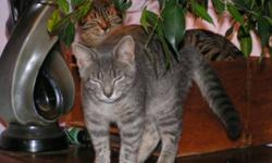 Breed: Tabby - Grey   Age: Adult   Sex: F   Size: M Charmer is a precious little girl. She runs up to her foster mom for petts. She does not like to be picked but her foster mom is working on that. With time she will make an excellent pet. Please call