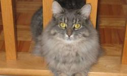Breed: Tabby - Grey   Age: Adult   Sex: F   Size: M My name is Perdie and I am a mighty pretty young female light grey tabby with long fur, born in December 2007.I am very affectionate and like to be around people when I know them. You see I live in a