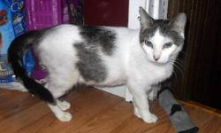 "Breed: Tabby - white   Age: Adult   Sex: F   Size: M DSH Brown tabby and white female; DOB: November 2006 We can't imagine what it was like for Sweet Marie to be scheduled to die along with her kittens - simply because the shelter was ""too full"". Sweet"