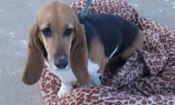 Breed: Basset Hound   Age: Adult   Sex: F   Size: M Maggie May came into rescue in search of a bit quieter home. She is very friendly girl who enjoys the company of people, but she finds the little people a bit overwhelming. This gentle girl is looking