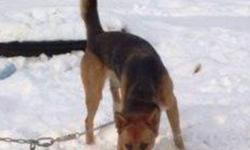 Breed: Beagle German Shepherd Dog   Age: Adult   Sex: F   Size: L Puce à besoin d'une maison avec une cour clôturée et assez haute, car elle est comme un petit ressort. Elle est très active. Une famille très active et alerte est fortement recommandée! Je